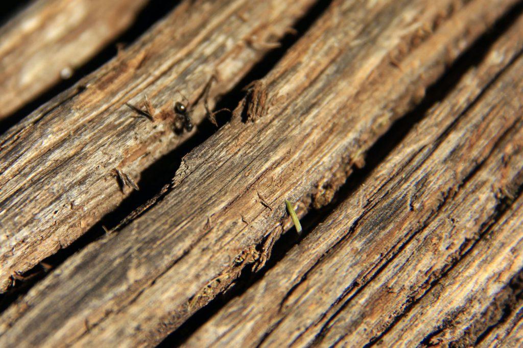 houtmieren